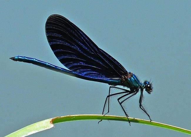 Blauflügel-Prachtlibelle - Calopteryx virgo Männchen