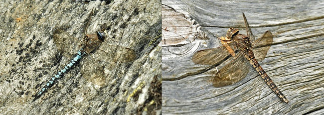 Alpen-Mosaikjungfer (Aeshna caerulea)