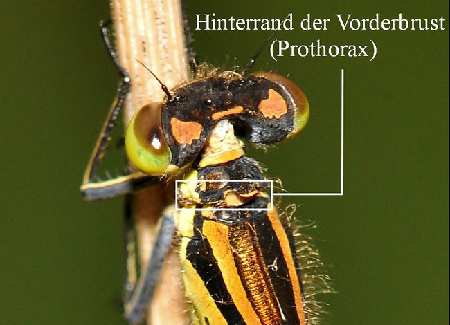 Mond-Azurjungfer (Coenagrion lunulatum), Prothorax, Pronotum,