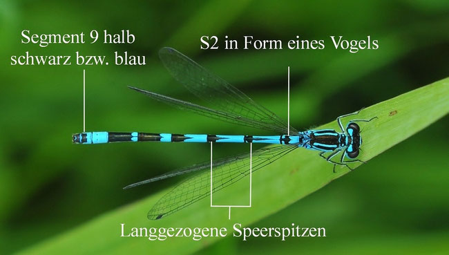 Vogel-Azurjungfer (Coenagrion ornatum)
