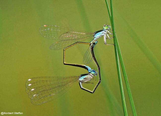 Zwerglibelle (Nehalennia speciosa) Paarungsrad