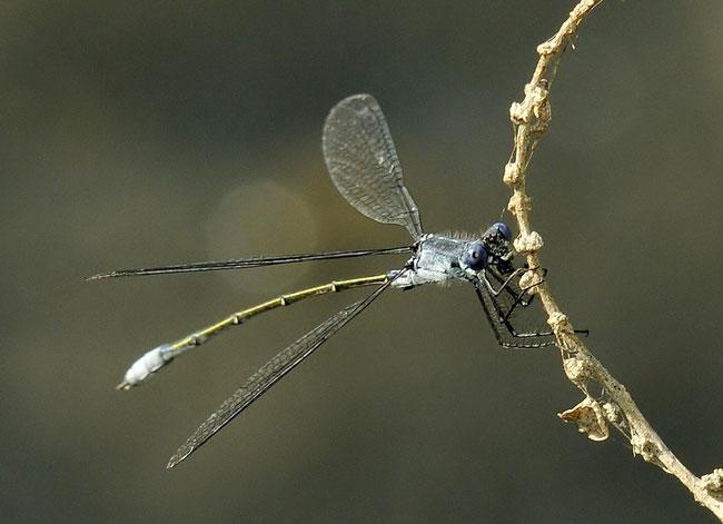 Dunkle Binsenjungfer (Lestes macrostigma)