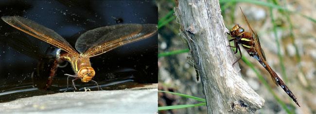 Braune Mosaikjungfer (Aeshna grandis)