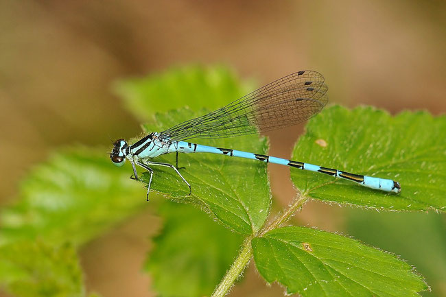 Speer-Azurjungfer (Coenagrion hastulatum)
