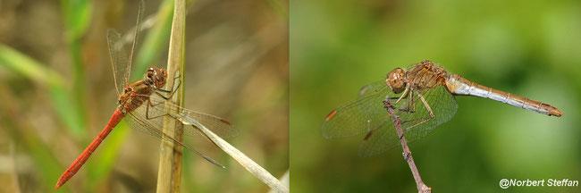 Südliche Heidelibelle (Sympetrum meridionale) Libellen