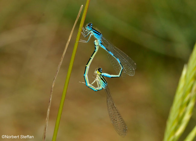 Gabel-Azurjungfer (Coenagrion scitulum)