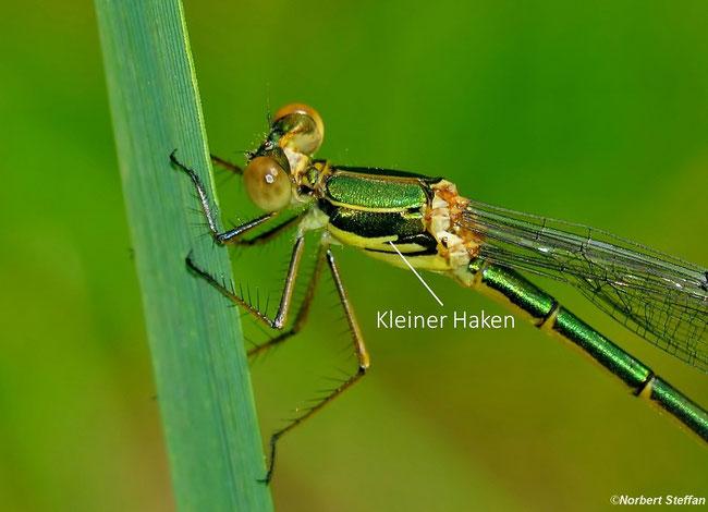 Gemeine Weidenjungfer(Chalcolestes viridis)