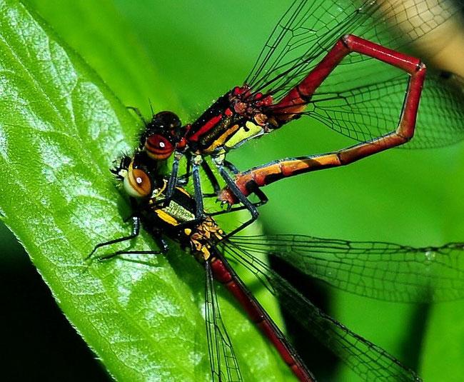 Frühe Adonislibelle (Pyrrhosoma nymphula)