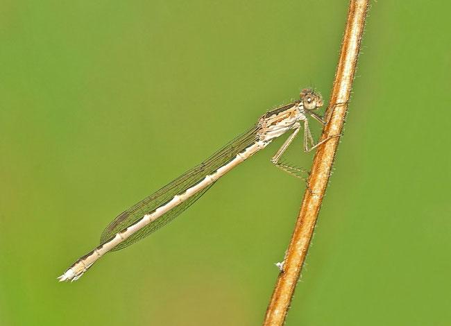 Sibirische Winterlibelle (Sympecma paedisca)