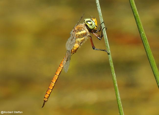 Keilfleck Mosaikjungfer - (Aeshna isoceles) Männchen