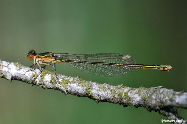 Zwerglibelle (Nehalennia speciosa) Weibchen