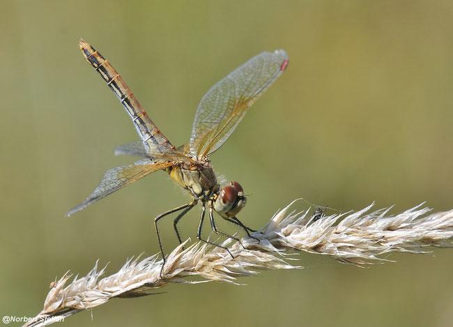 Gefleckte Heidelibelle (Sympetrum flaveolum) Libelle, Libellen, Heidelibellen,