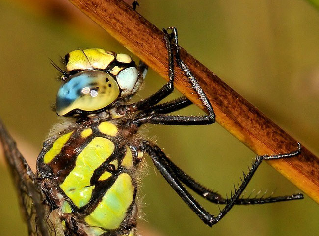 Blaugrüne Mosaikjungfer - Aeshna cyanea