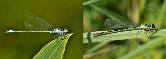 Große Pechlibelle (Ischnura elegans) Libellen