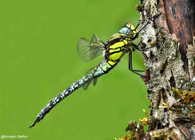 Früher Schilfjäger (Brachytron pratense) Männchen
