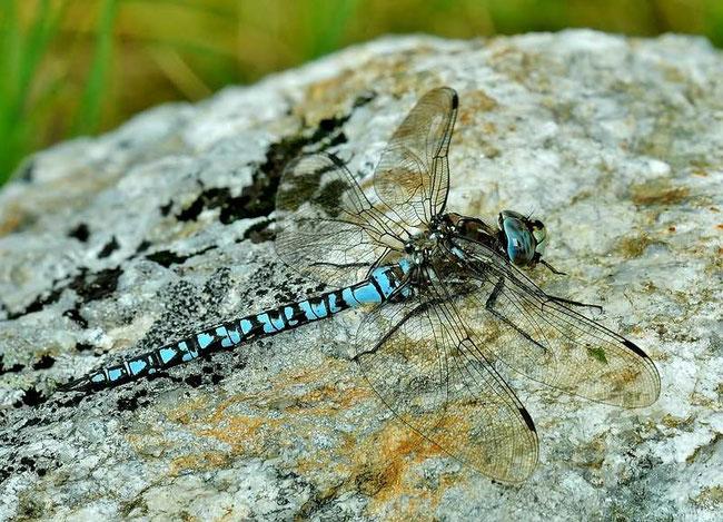 Alpen Mosaikjungfer - Aeshna caerulea Männchen
