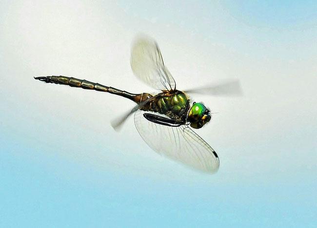 Gefleckte Smaragdlibelle (Somatochlora flavomaculata)