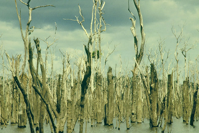 © Gunkel. Inundated vegetation in Curua Una Reservoir, 22 years after damming up, photo taken at low water level