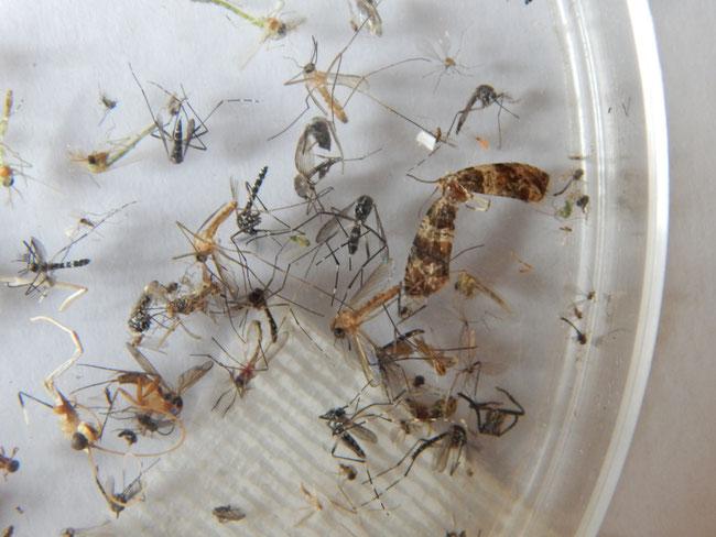 Zanzare tigri cattuarate con le nuove trappole modello X1 ancora in fase di sperimentazione.