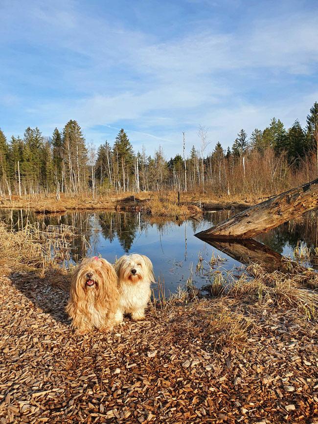 zwei Hunde im Moor