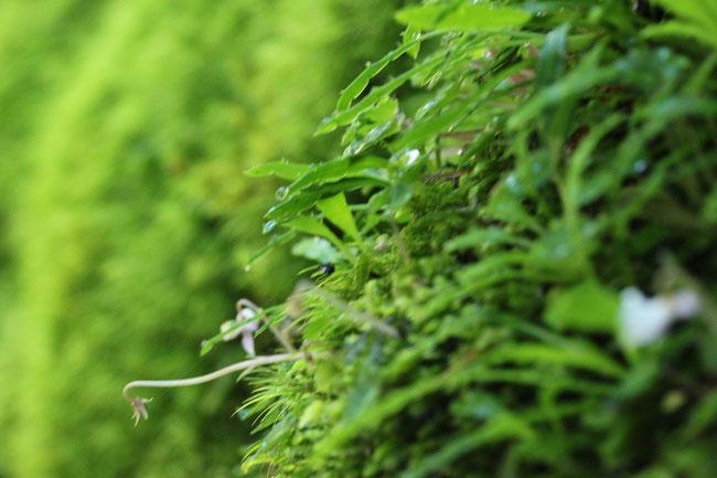 ヤクスギランド 植物
