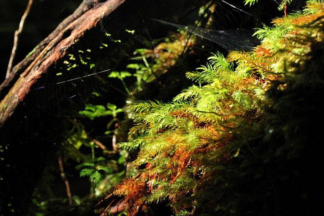 ヤクスギランド 杉の葉