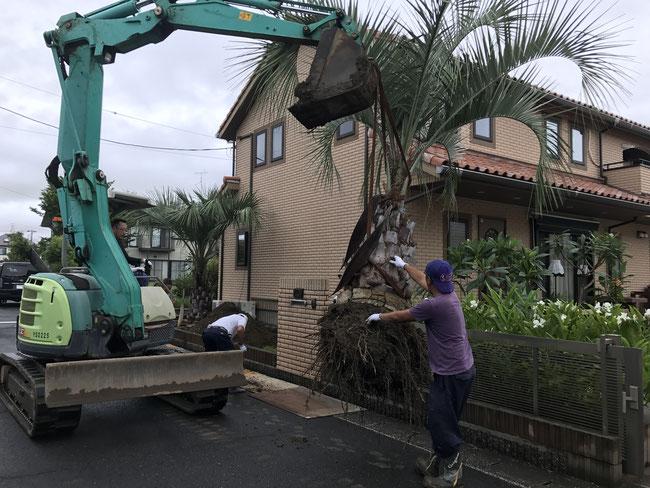 ヤシの木植え替え