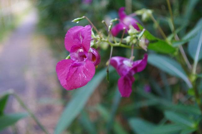Wilde Orchideen am Wegesrand der Straßenbahn