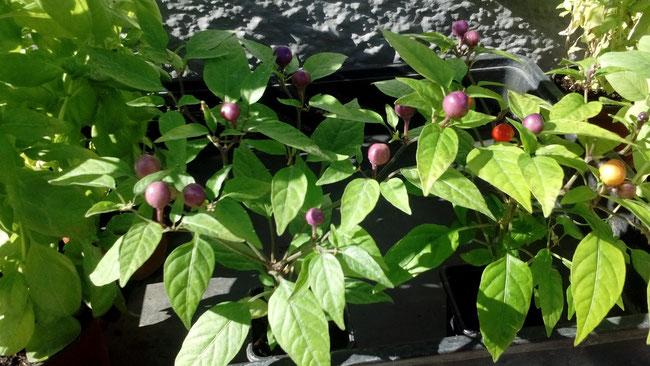 Chile de cereza húngaro Capsicum annuum