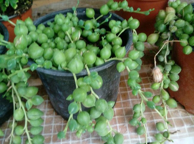 Plantas en maceta de 10,5 cm