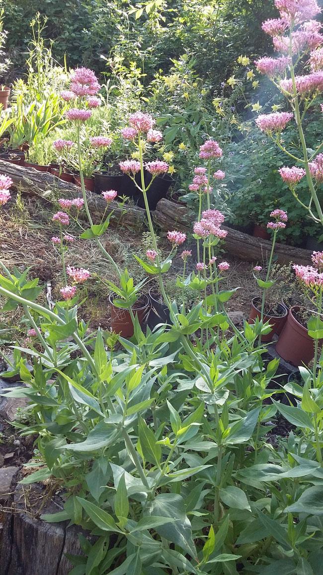 Centranthus ruber Valeriana roja