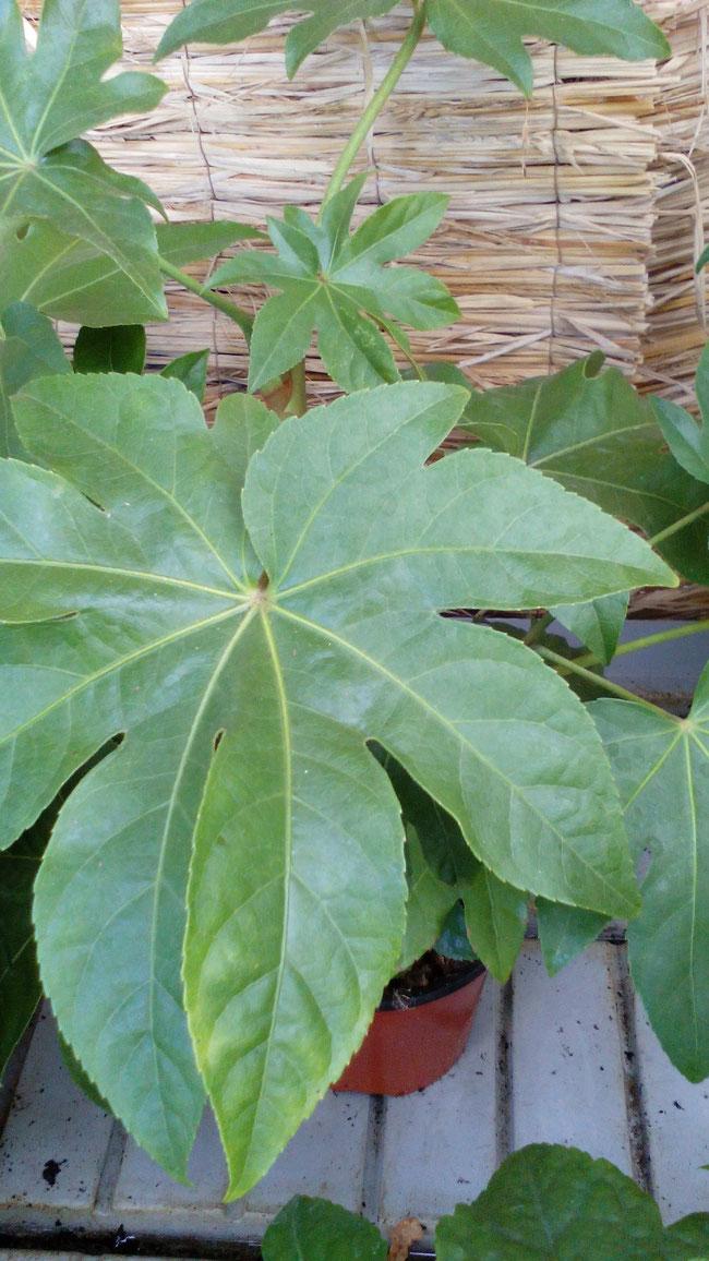 Planta joven en maceta de 13 cm