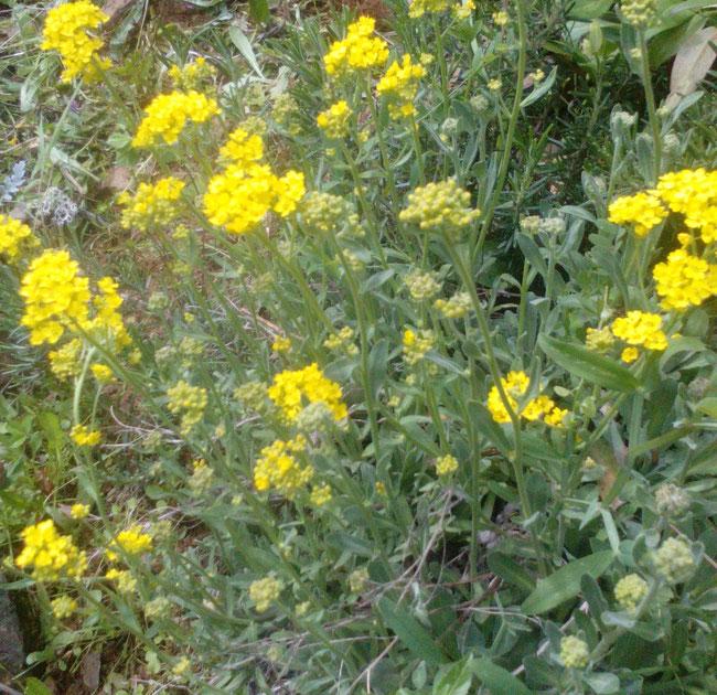 Aurinia saxatilis Alyssum saxatile