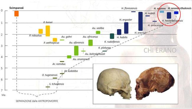 Tratto da una lezione del Prof. Fabio Di Vincenzo sull'origine dei Neanderthal