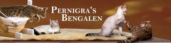 Pernigra's Bengalen