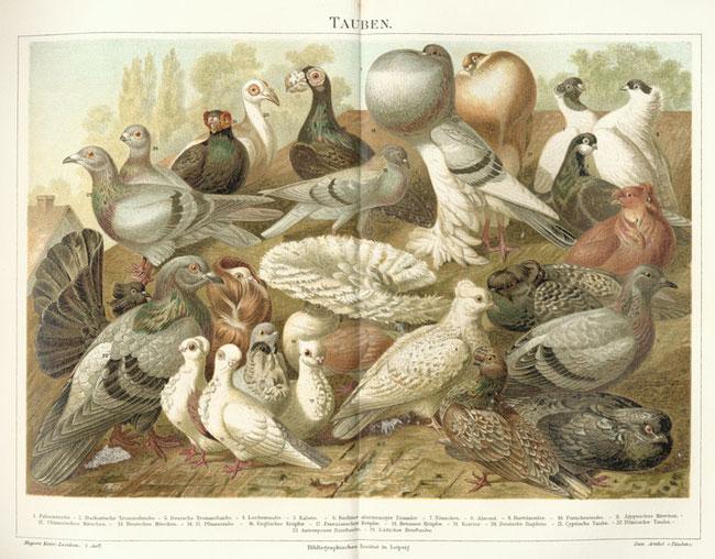 Darstellung versch. Taubenrassen 1885-1890; Quelle: von Bibliographisches Institut [Public domain oder Public domain], via Wikimedia Commons