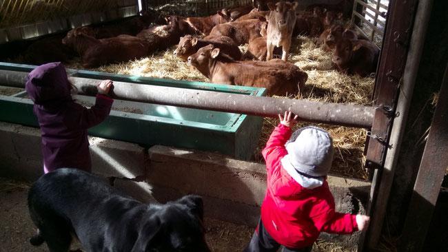 Veaux Limousins de l'année dans leur quartier d'hiver à la ferme de Chey admirés par nos enfants