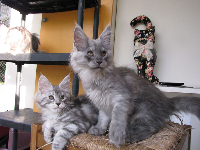 COLORI DEL MAINE COON - BLU SMOKE E BLACK SILVER