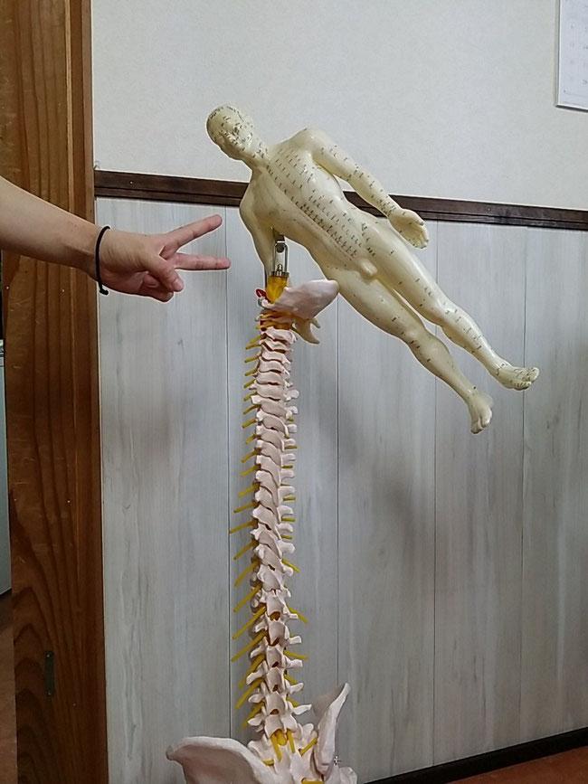ピースサイン 骨格模型 ツボ人形