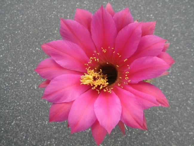 JBL Tri157, KA.2009.222.JBL.02, (Amethystx Volta Lake) X (Rosa California x Kermesina Hybr.) 13 cm