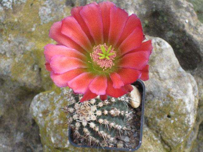 Echinocereus bonkerae
