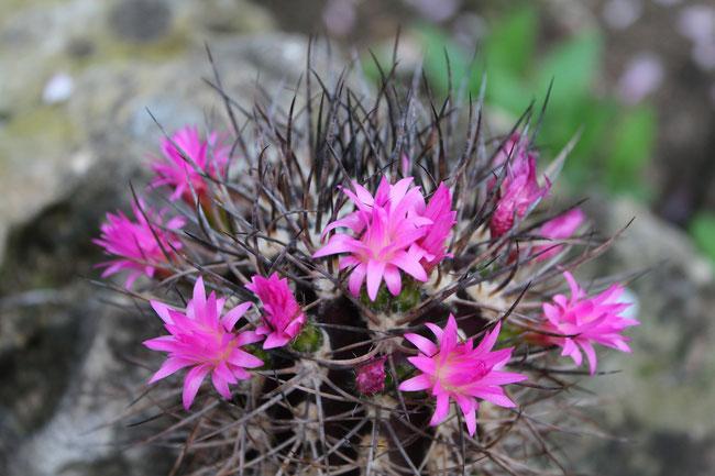 Neoporteria clavata v. grandiflora KK 100