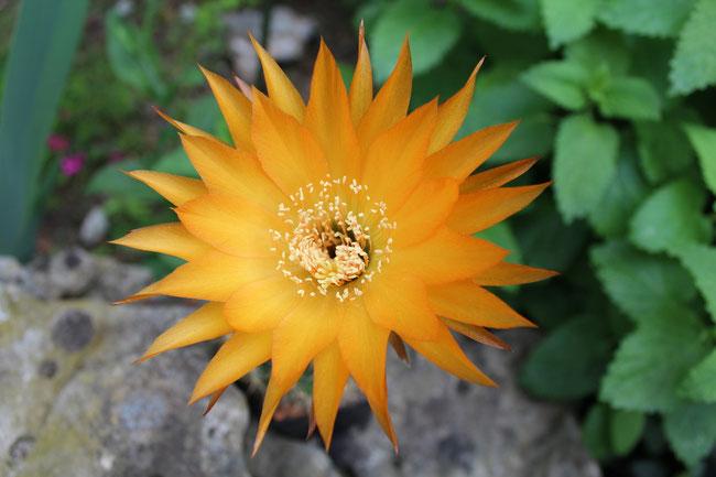 JBL Tri79A, SSA.2010.02.JBL.01, 200-3 Lausser x Yellow California, 13 cm bei Erstblüte von Pflanzenkörper 7 cm