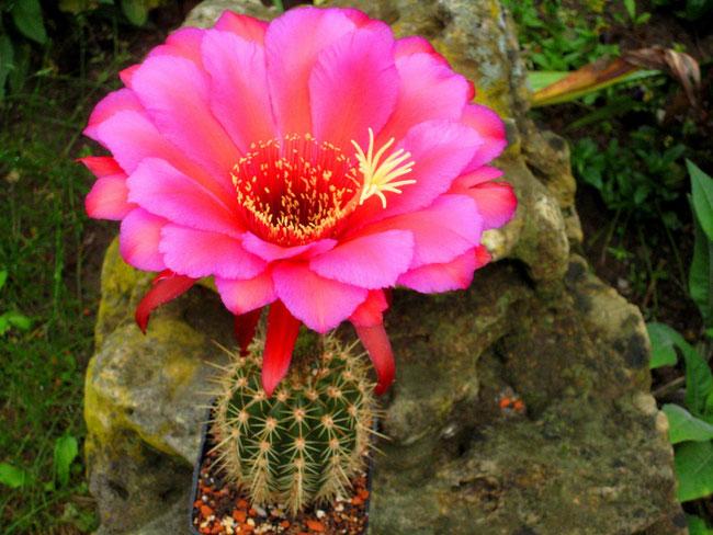 JBL Tri 10,JT 1000 -JBL1, Bernstein x Flying Saucer, Blütenblätter aussen pink-lila nach innen rot bis orange, DM 18 cm bei 8 cm Pflanzengröße