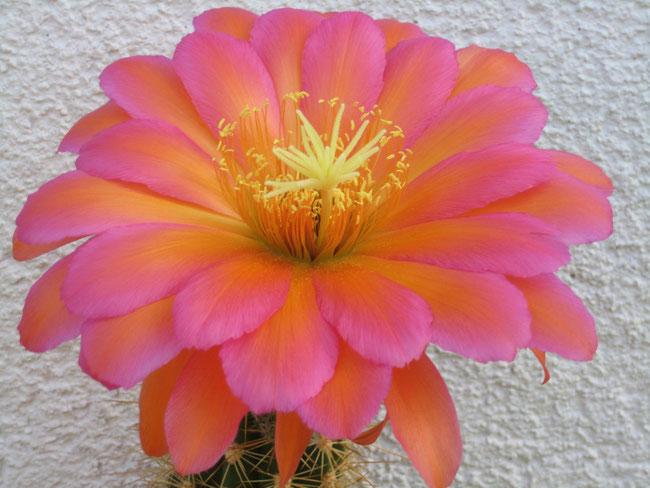 JBL Tri 18 A(Tr. Cantora gelb x Cantora orange) 17-20 cm dkl orange X Flying Saucer R.Liske RL2005-40, AG 679