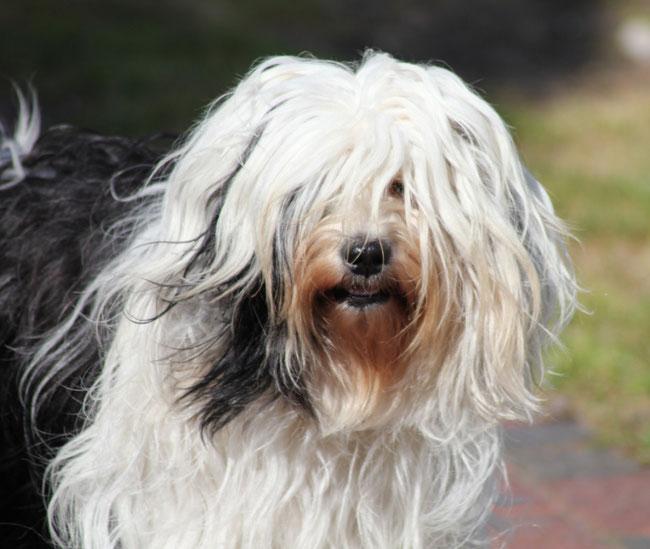 Tibet Terrier Hündin TiLaShu Joyce Passion du joyeux Berger