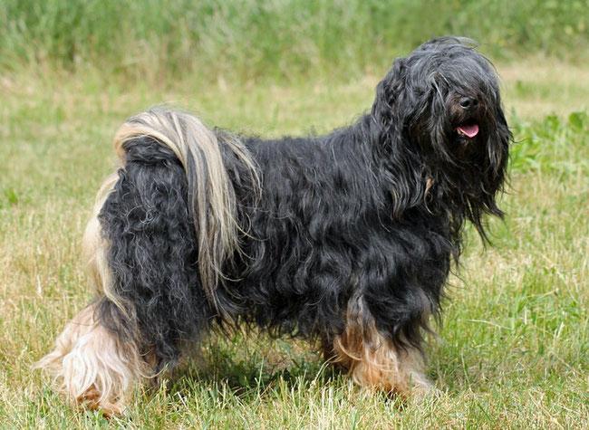 Tibet Terrier Deckrüde Ferres du joyeux Berger