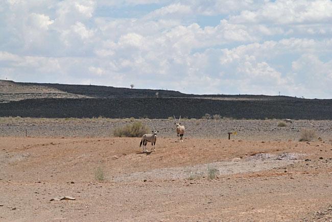 Namibia Oryx
