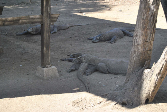 Komodowarane, Rinca, Indonesien, Komodo Nationalpark