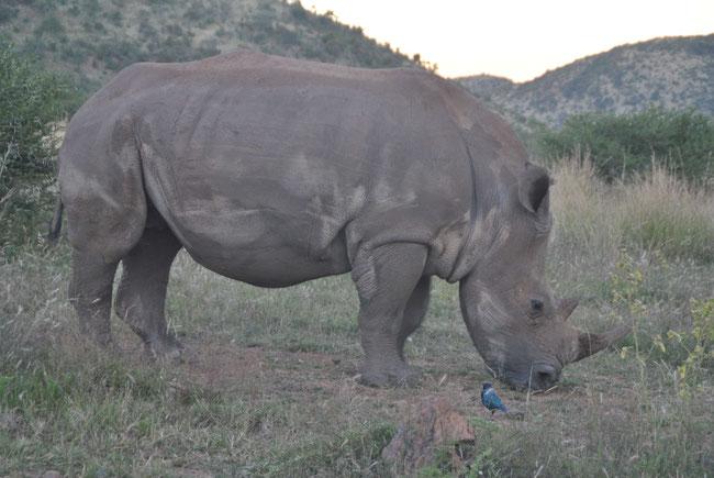 Südafrika-Reise, Safari, Afrika, Nashorn